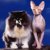 Бывают ли гипоаллергенные кошки