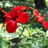 Как пересаживать и подрезать китайскую розу