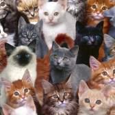 Как определить характер кошки по окрасу
