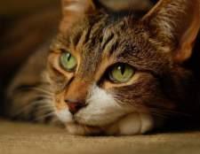 Гепатит у кошек: симптомы, лечение