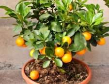 Как вырастить мандарин дома в горшке